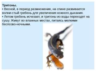 Тритоны. • Весной, в период размножения, на спине развивается волнистый греб