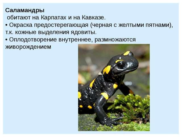 Саламандры обитают на Карпатах и на Кавказе. • Окраска предостерегающая (черн...