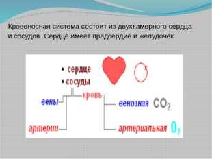 Кровеносная система состоит из двухкамерного сердца и сосудов. Сердце имеет п