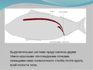 Выделительная система представлена двумя тёмно-красными лентовидными почками,