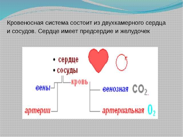 Кровеносная система состоит из двухкамерного сердца и сосудов. Сердце имеет п...