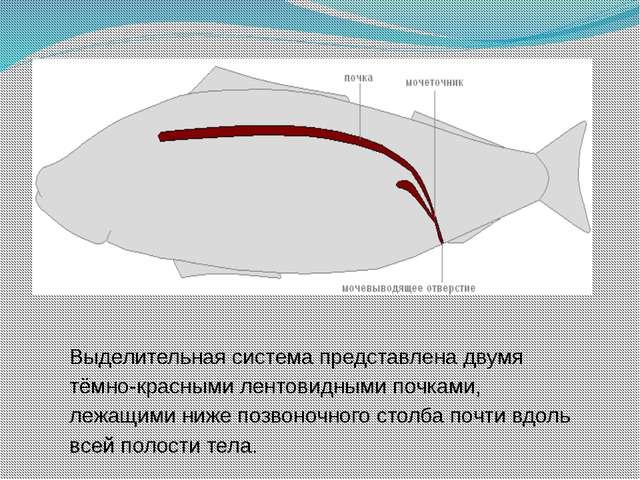 Выделительная система представлена двумя тёмно-красными лентовидными почками,...