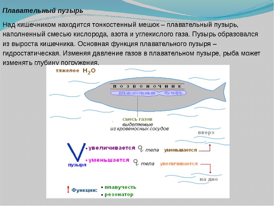 Плавательный пузырь Над кишечником находится тонкостенный мешок – плавательны...