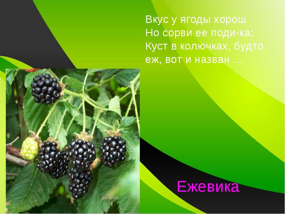 Вкус у ягоды хорош Но сорви ее поди-ка: Куст в колючках, будто еж, вот и назв...