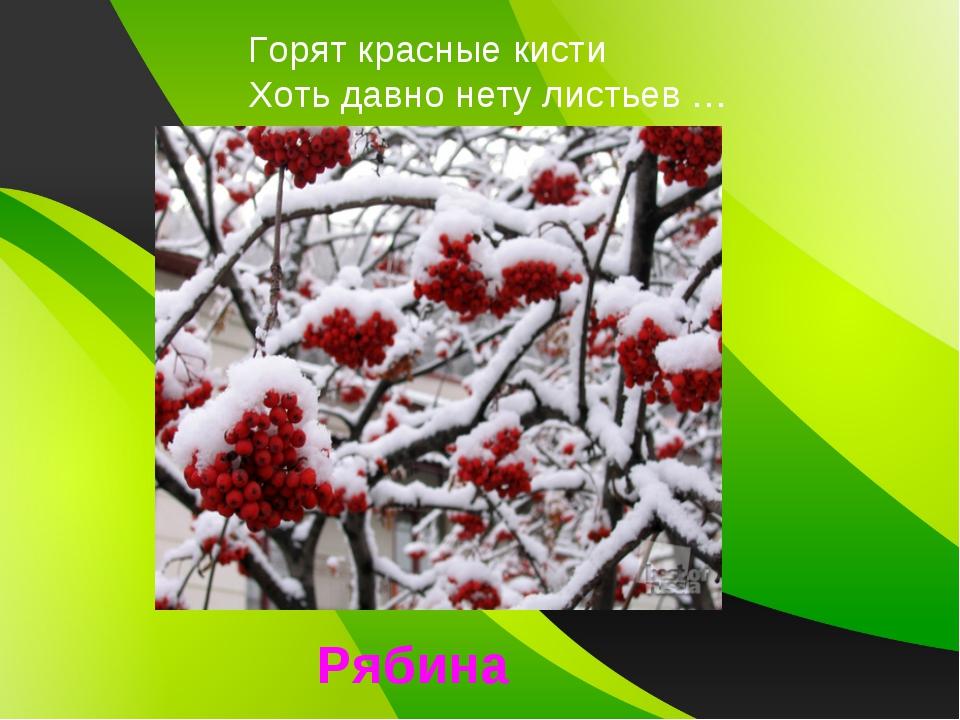 Горят красные кисти Хоть давно нету листьев … Рябина