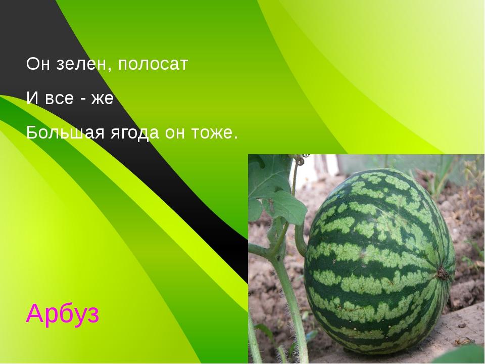 Он зелен, полосат И все - же Большая ягода он тоже. Арбуз