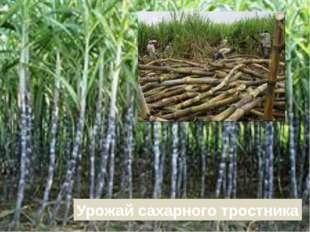 Урожай сахарного тростника