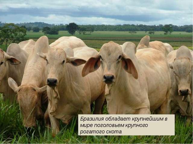 Бразилия обладает крупнейшим в мире поголовьем крупного рогатого скота