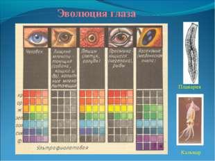 Эволюция глаза Планария Кальмар