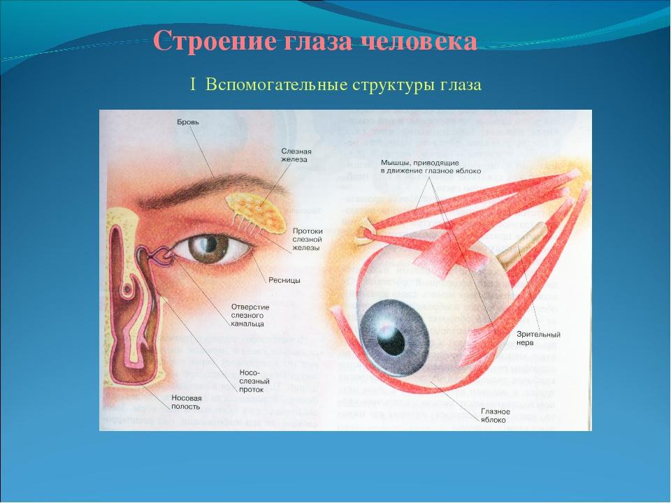 Строение глаза человека схема