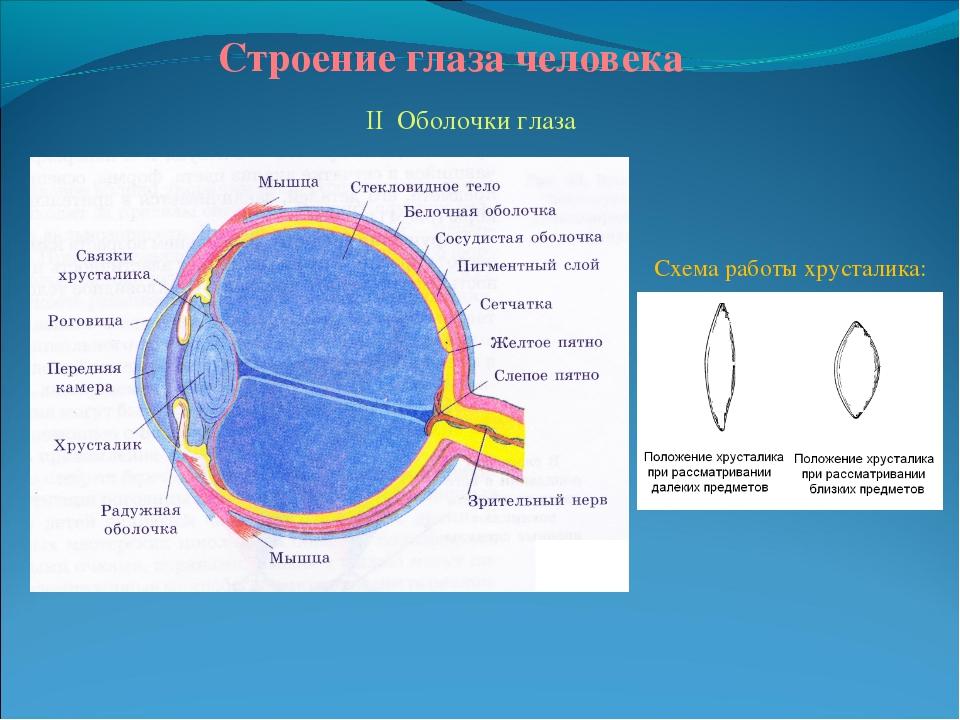 Строение глаза человека II Оболочки глаза Схема работы хрусталика: