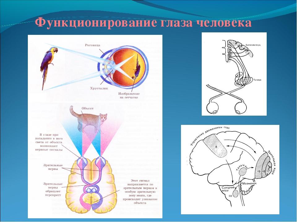 Функционирование глаза человека