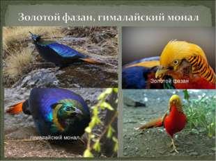 гималайский монал Золотой фазан