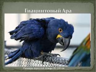 Размеры взрослой птицы 95-100 см.