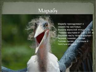 Марабу принадлежит к семейству аистовых. Высота взрослой птицы 1,50 м. Разма