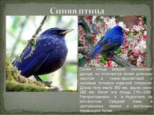 Синяя птица внешне напоминает дрозда, но отличается более длинным хвостом и т
