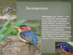 Зимородки (дат. Alcedo) — род птиц семейства зимородковых . Птицы небольшого