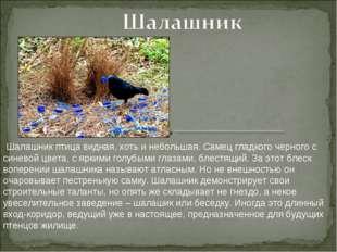 Шалашник птица видная, хоть и небольшая. Самец гладкого черного с синевой цв
