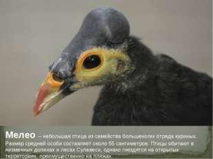 Мелео – небольшая птица из семейства большеногих отряда куриных. Размер средн