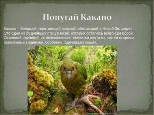 Какапо – большой нелетающий попугай, обитающий в Новой Зеландии. Это одна из
