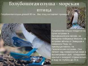 Голубоногая олуша длиной 80 см. Вес птиц составляет примерно 1,5 кг. Голубоно