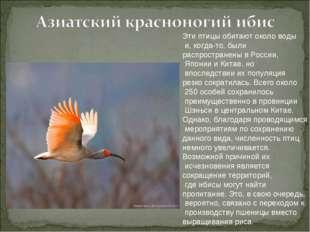 Эти птицы обитают около воды и, когда-то, были распространены в России, Япони