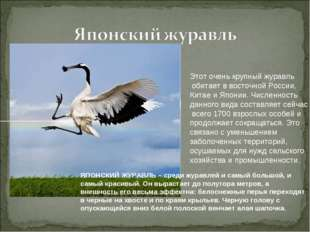 Этот очень крупный журавль обитает в восточной России, Китае и Японии. Числен