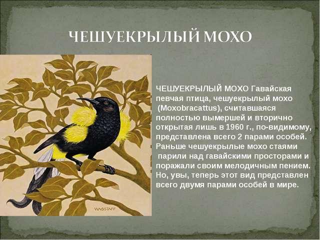 ЧЕШУЕКРЫЛЫЙ МОХО Гавайская певчая птица, чешуекрылый мохо (Moxobracattus), сч...