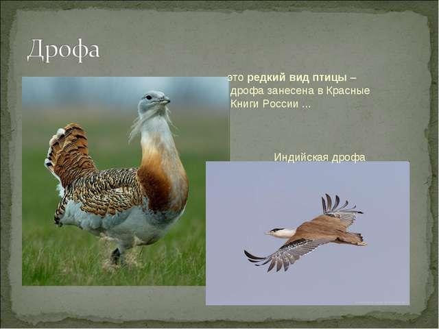 это редкий вид птицы – дрофа занесена в Красные Книги России ... Индийская др...