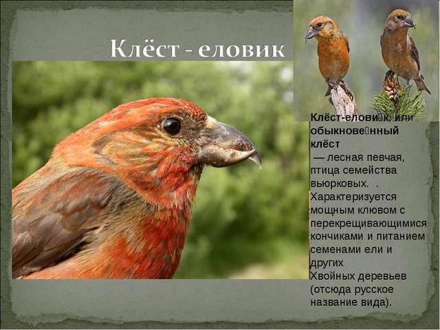 Клёст-елови́к, или обыкнове́нный клёст — лесная певчая, птица семейства вьюр...