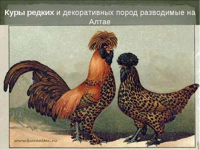 Куры редких и декоративных пород разводимые на Алтае