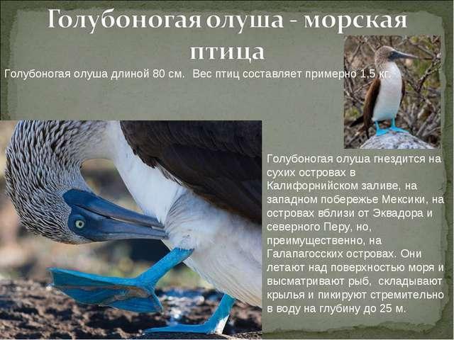 Голубоногая олуша длиной 80 см. Вес птиц составляет примерно 1,5 кг. Голубоно...