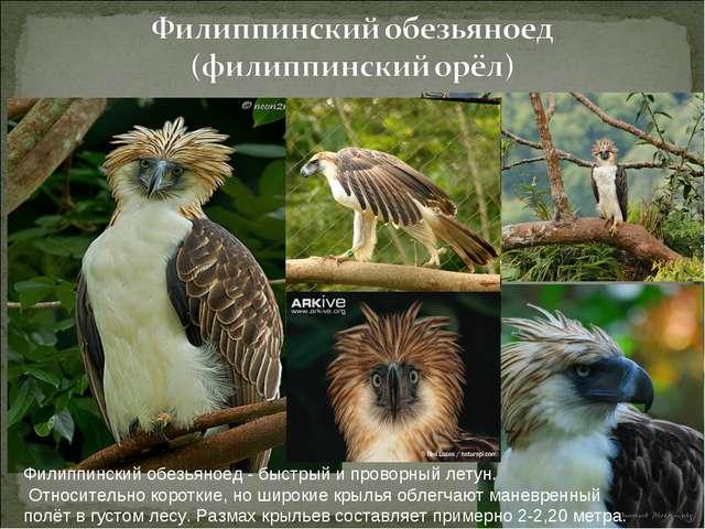 Филиппинский обезьяноед - быстрый и проворный летун. Относительно короткие, н...