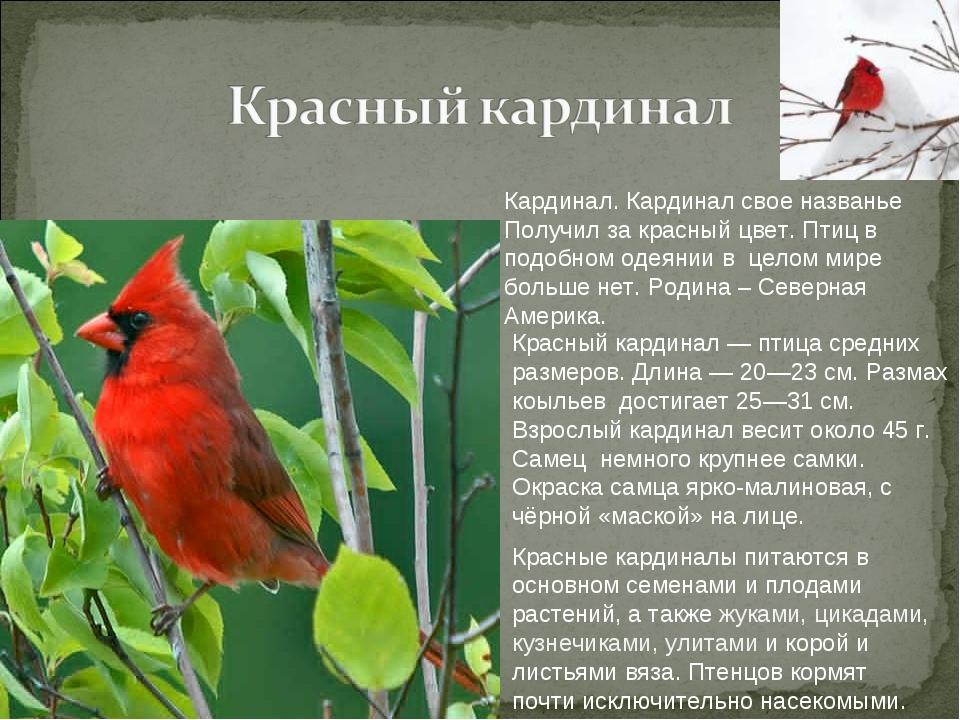 Кардинал. Кардинал свое названье Получил за красный цвет. Птиц в подобном оде...