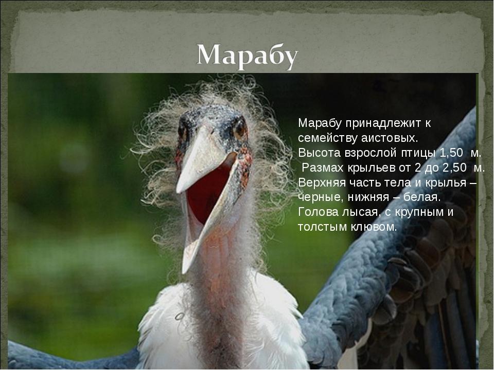Марабу принадлежит к семейству аистовых. Высота взрослой птицы 1,50 м. Разма...