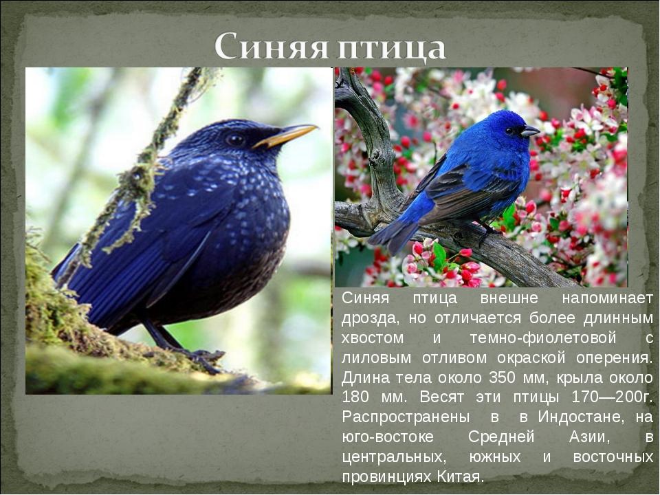 Синяя птица внешне напоминает дрозда, но отличается более длинным хвостом и т...