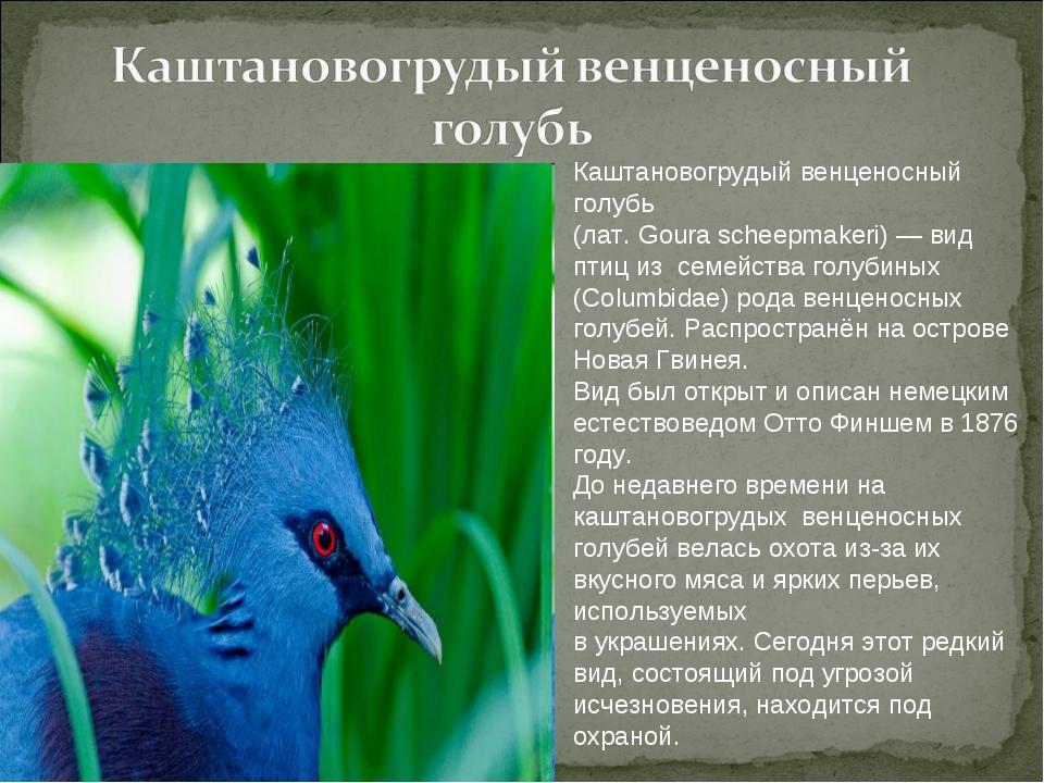 Каштановогрудый венценосный голубь (лат. Goura scheepmakeri) — вид птиц из се...