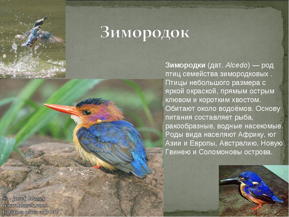 Зимородки (дат. Alcedo) — род птиц семейства зимородковых . Птицы небольшого...