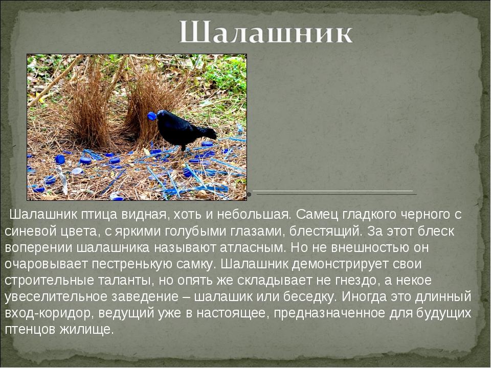 Шалашник птица видная, хоть и небольшая. Самец гладкого черного с синевой цв...