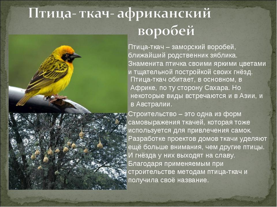 Птица-ткач – заморский воробей, ближайший родственник зяблика. Знаменита птич...