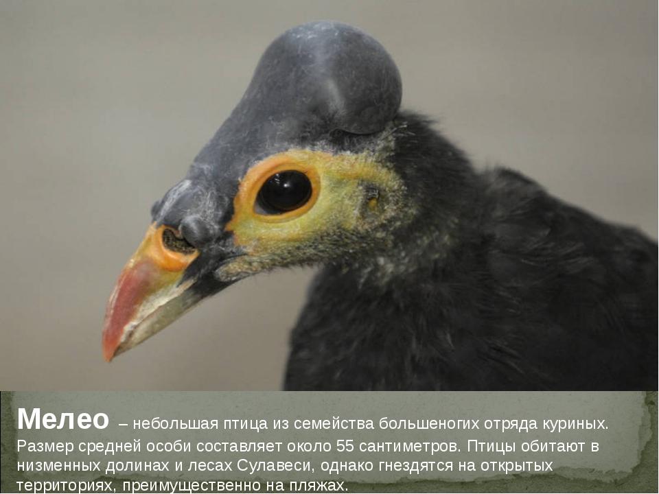 Мелео – небольшая птица из семейства большеногих отряда куриных. Размер средн...