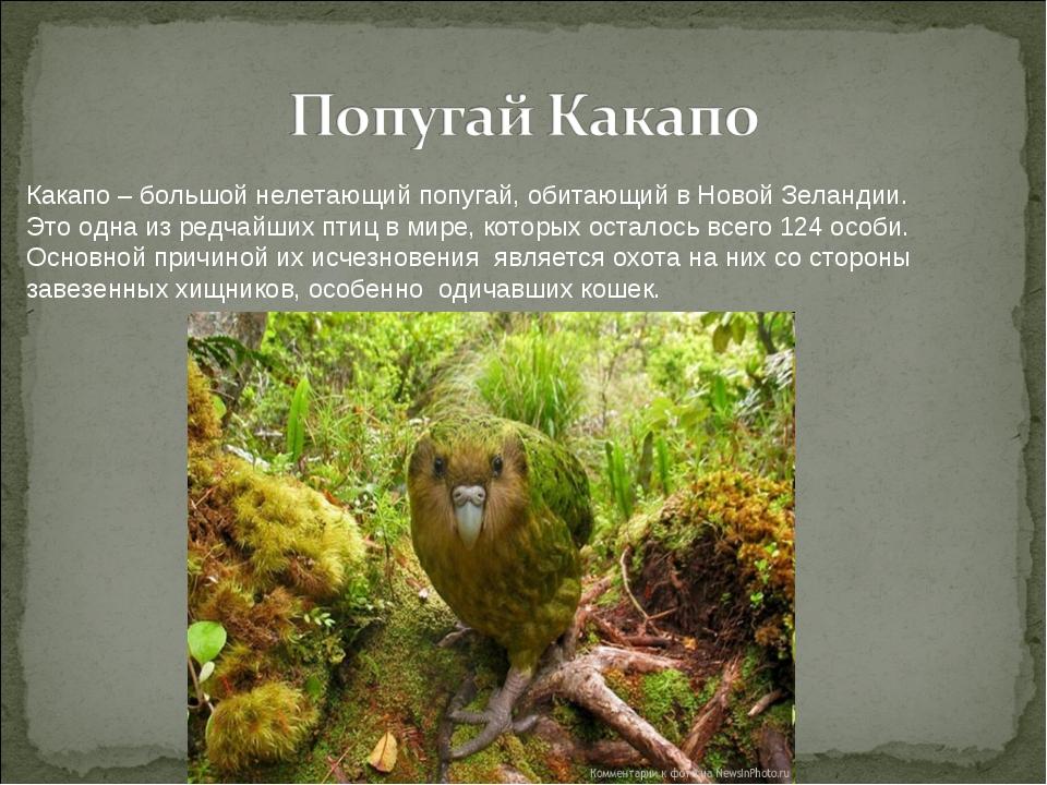 Какапо – большой нелетающий попугай, обитающий в Новой Зеландии. Это одна из...