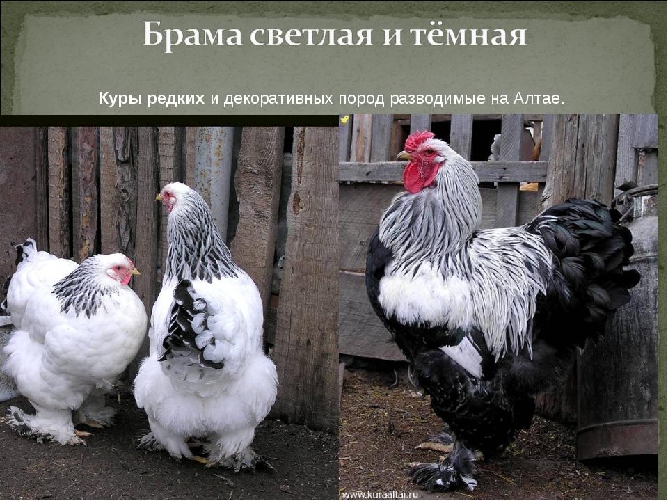 Куры редких и декоративных пород разводимые на Алтае.