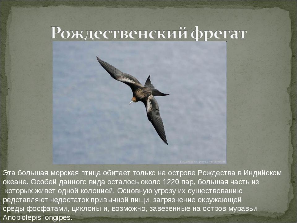 Эта большая морская птица обитает только на острове Рождества в Индийском ок...