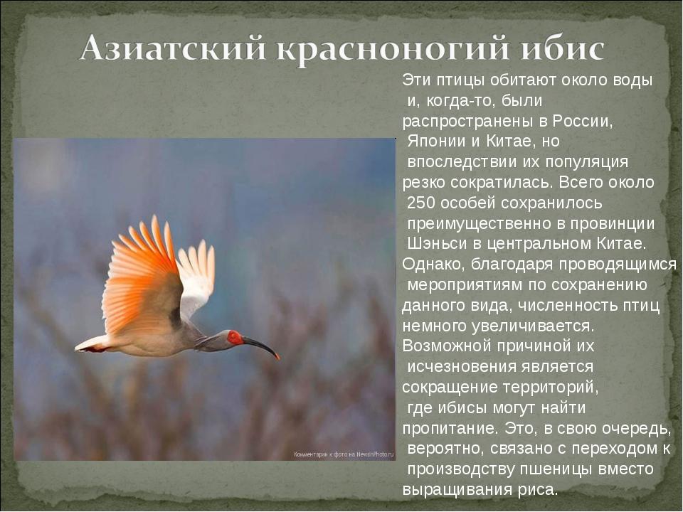 Эти птицы обитают около воды и, когда-то, были распространены в России, Япони...