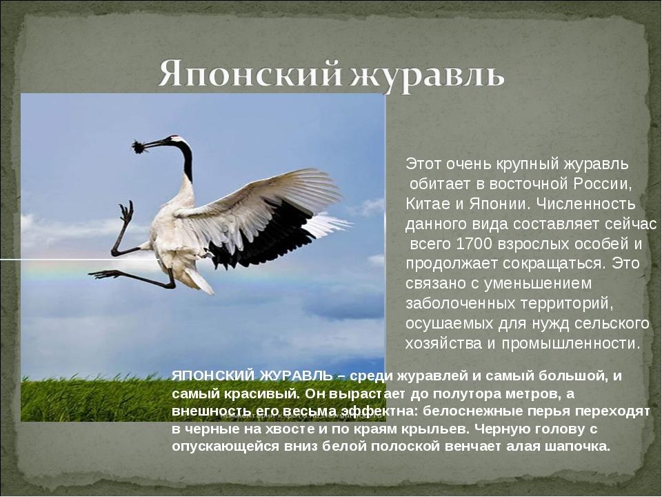 Этот очень крупный журавль обитает в восточной России, Китае и Японии. Числен...