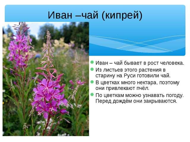 Иван – чай бывает в рост человека. Из листьев этого растения в старину на Рус...