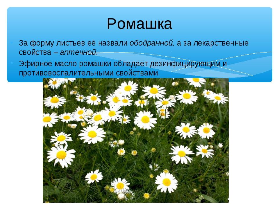 Ромашка За форму листьев её назвали ободранной, а за лекарственные свойства –...