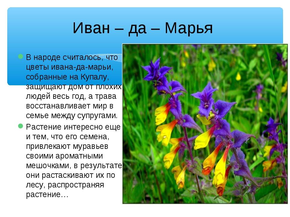 Иван – да – Марья В народе считалось, что цветы ивана-да-марьи, собранные на...
