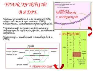 ТРАНСКРИПЦИЯ В ЯДРЕ Процесс считывания или синтеза РНК, осуществляется при по